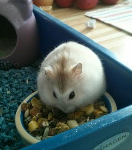 Clémentine, rongeur Hamster