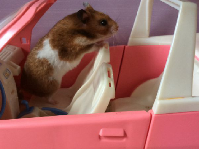 Cacahuète, rongeur Hamster