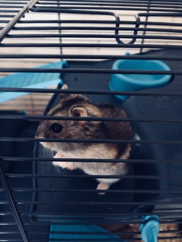 Haribo, rongeur Hamster