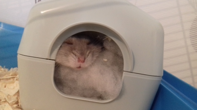 Anna, rongeur Hamster