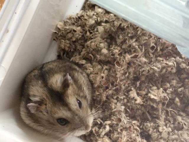Zoe, rongeur Hamster
