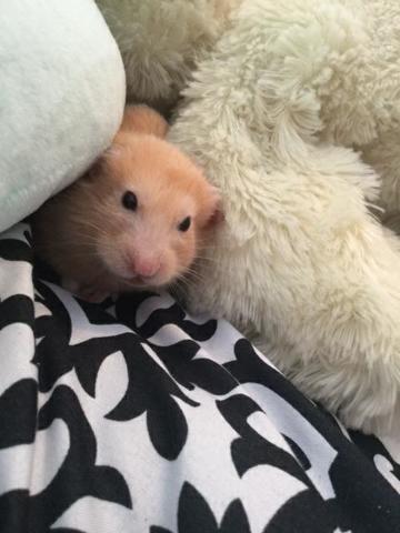 Coco Décédé, rongeur Hamster