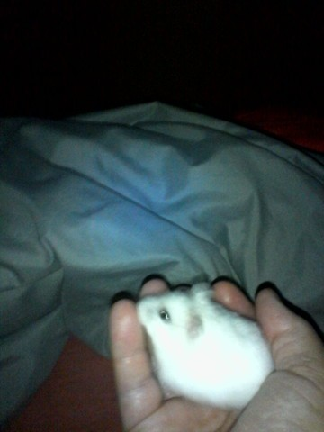 Nuage, rongeur Hamster