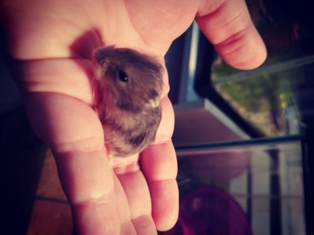 Hamster White Bébés, Hamster