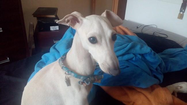 Happy, chien Petit Lévrier italien