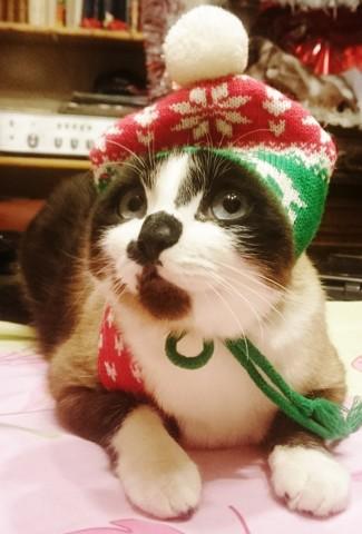 Happy, chat Siamois