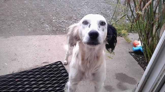Happy, chien Setter anglais