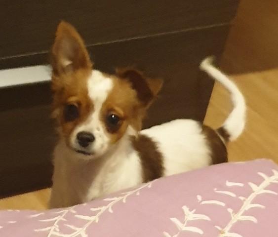 Happy, chiot Chihuahua