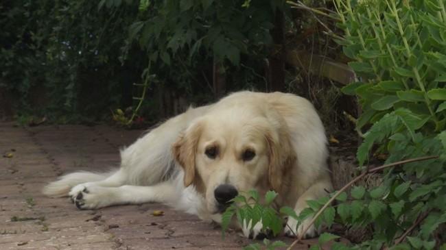 Harlem, chien Golden Retriever