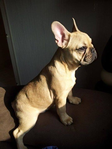 Hasko, chien Bouledogue français