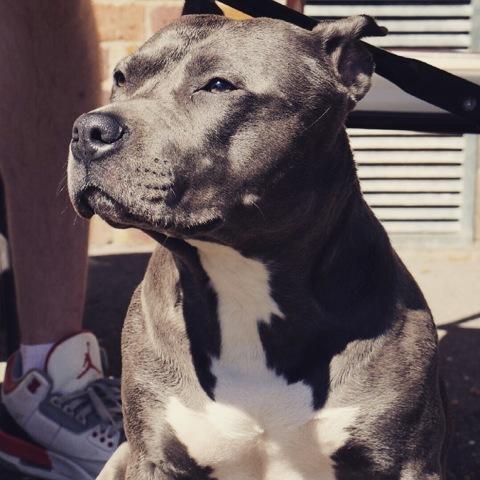 Havana, chien American Staffordshire Terrier