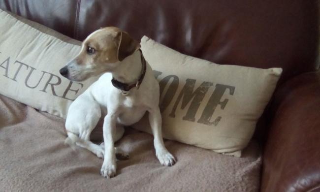 Havane, chien Jack Russell Terrier