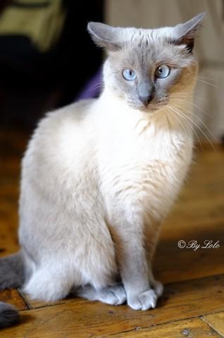 Hawai, chat Siamois