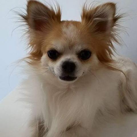 Haxo, chien Chihuahua