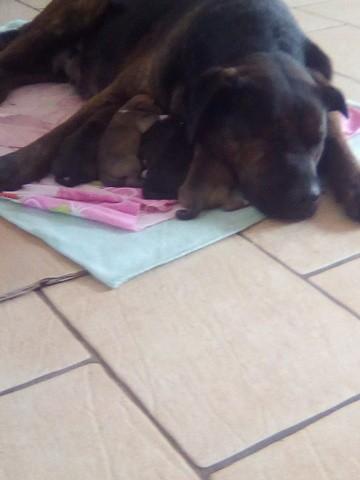 Haya, chien Cane Corso