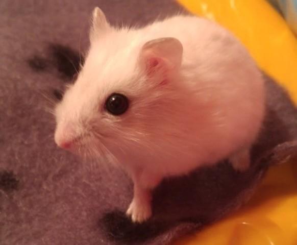 Henry, rongeur Hamster