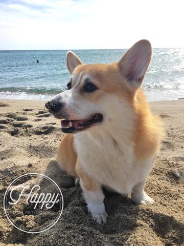 Happy, chien Welsh Corgi