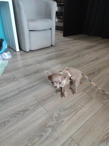 Hercule, chiot Chihuahua