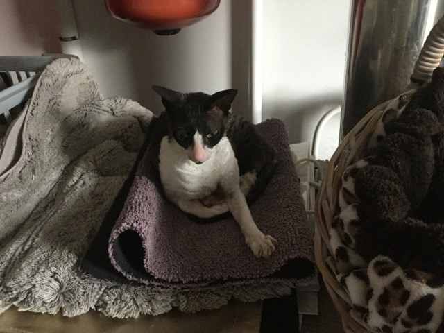 Hermione, chat Cornish Rex