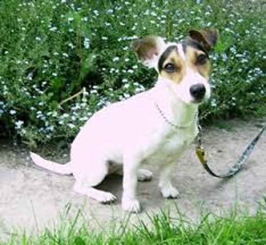 Hip Pop, chien Jack Russell Terrier