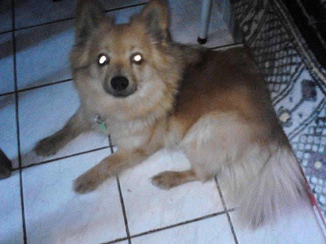 Hola, chien Spitz japonais