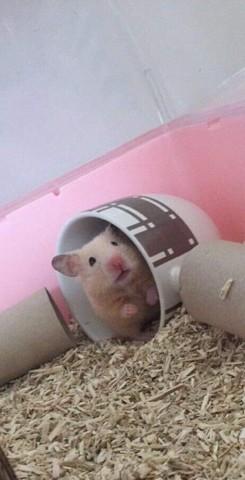 Honey, Hamster