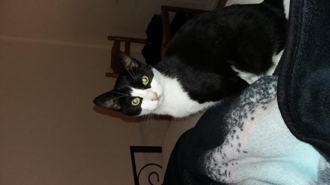 Horace, chat Européen