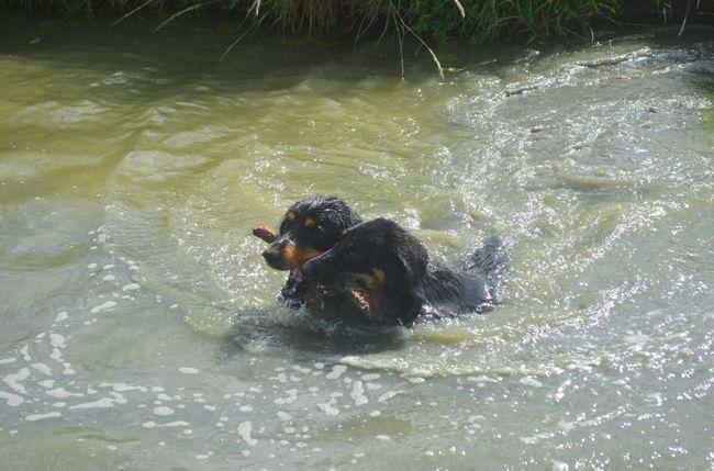 Gessy, chien Hovawart