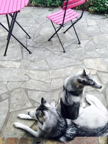 Leeni, chien Husky sibérien