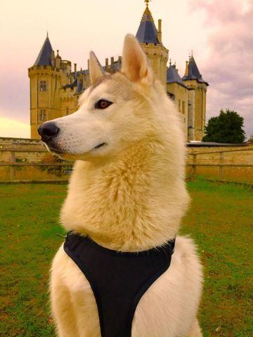 Laiko, chien Husky sibérien