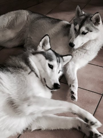 Maia, chien Husky sibérien