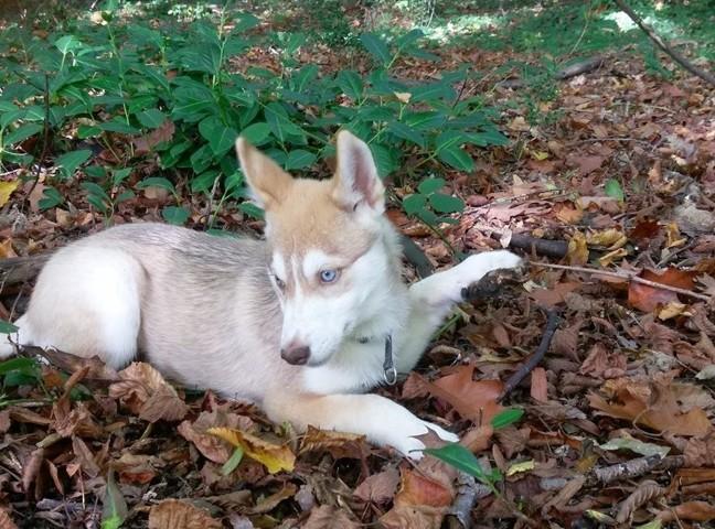 Naiko, chiot Husky sibérien