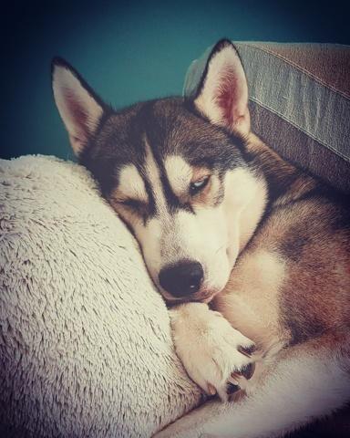 Menhir, chien Husky sibérien