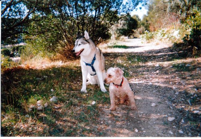 Heidy 1993-2005, chien Husky sibérien