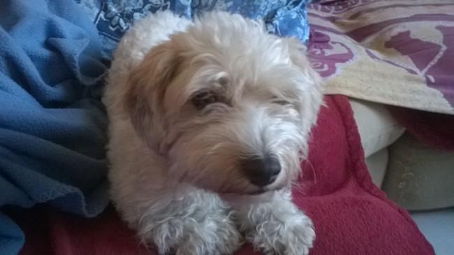 Hyonna, chien Bichon maltais