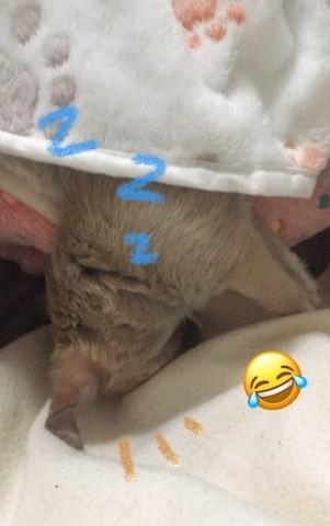 Hyuna, chiot Chihuahua