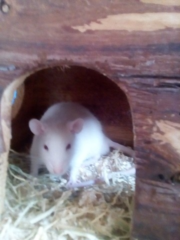 Iago, rongeur Rat
