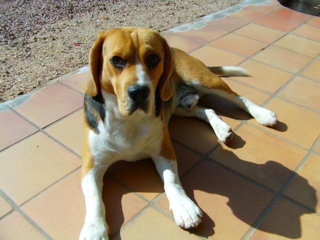 Iago, chien Beagle