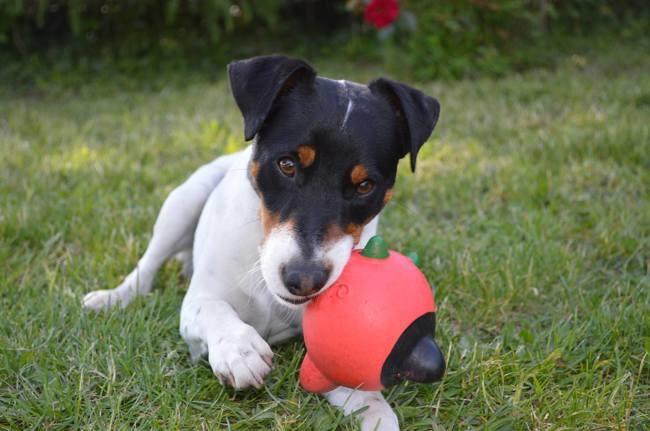 Iago, chien Jack Russell Terrier