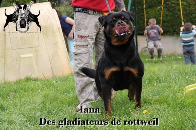 Iana Des Gladiateurs De Rottweil, chien Rottweiler