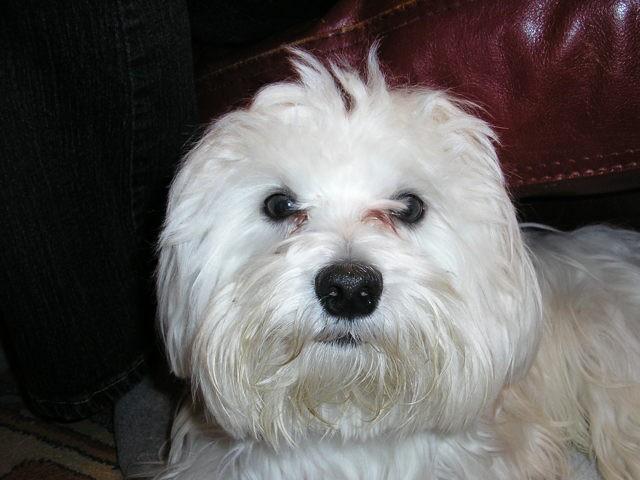 Idefix, chien Bichon maltais