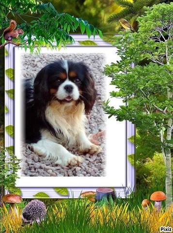 Idole Des Jeunes De L'Angelarde, chien Cavalier King Charles Spaniel