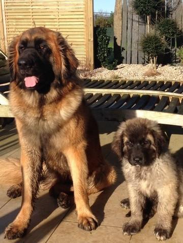 Häufig Top 10 des races de chiens les plus grands - Insolite - Wamiz OI41