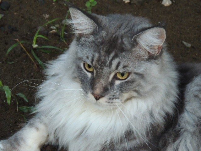 Ignace, chat Maine Coon