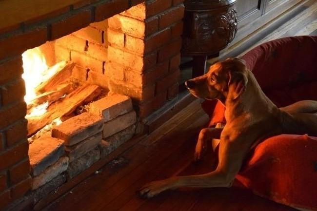Ikah, chien Rhodesian Ridgeback