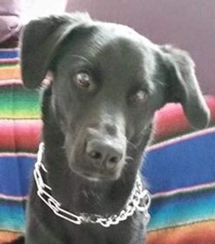 Illico, chien Labrador Retriever