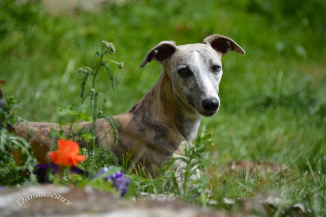 Impériale, chien Whippet
