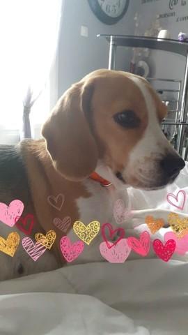 Ina, chien Beagle