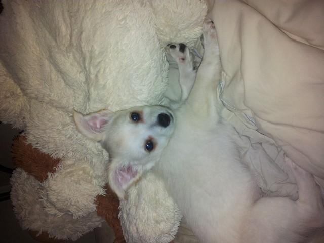 Inaya, chien Chihuahua