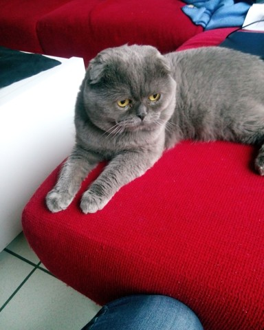 Indy, chat Scottish Fold